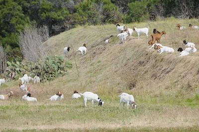 Goats gobble up the vegetation at Point Vincente.