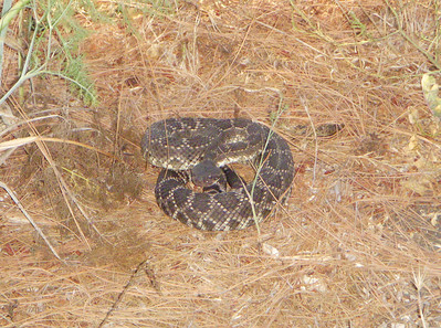 As always watch out for Rattle Snakes in the summer. This one was about 4 foot long and about 3 inches in diameter with a very short rattle and was seen up in the Eagles Nest area under the pine trees.