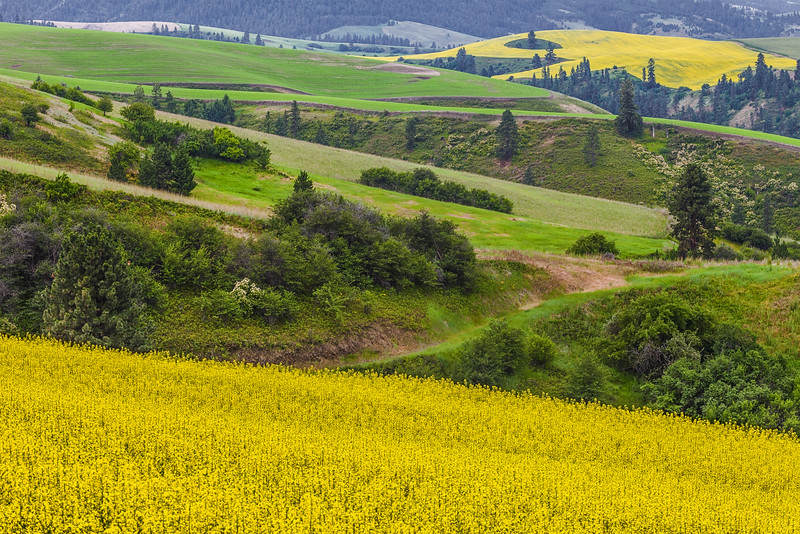 Canola and Canyons, Camas Prairie
