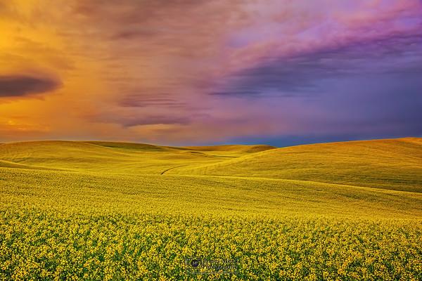 """Fields of Gold,"" Canola Fields at Sunrise, the Palouse, Washington"