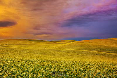 """Fields of Gold,"" Canola Fields at Sunrise, the Palouse, Washington"