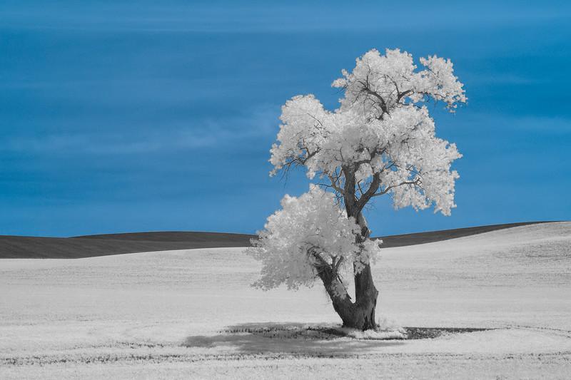Cottonwood Tree Infrared