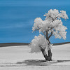 Cottonwood Tree Infrared