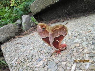 Pam's Moth, July 2016