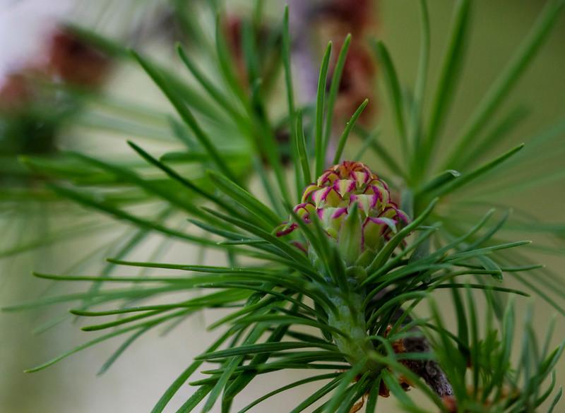 Evergreen Cone, male