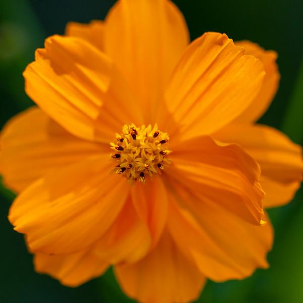Orange Cosmos, center