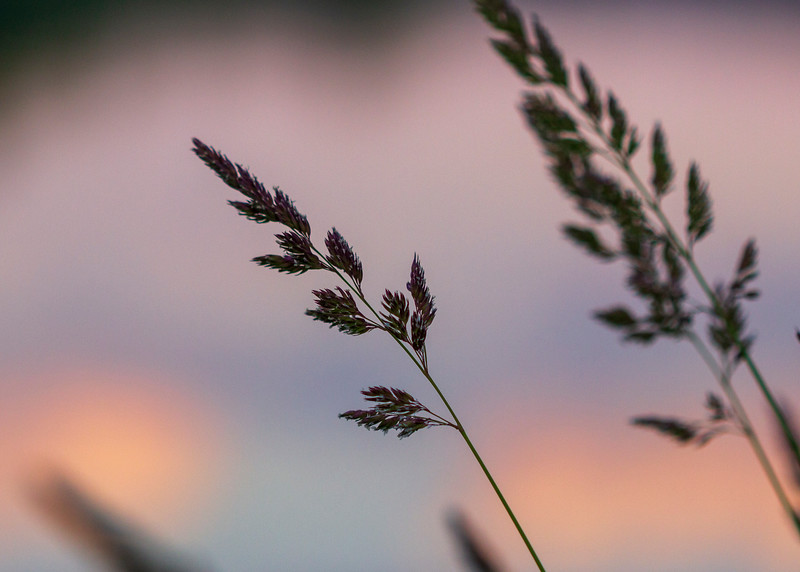 Grasses at the Kennebec River