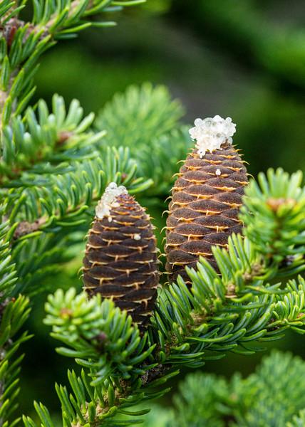 Spruce Cones 2