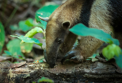 Ant eater in the Gamboa jungle