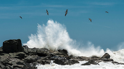 Pelicans following the waves