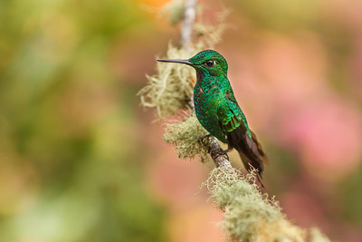 Green-fronted Brilliant (Heliodoxa jacula)