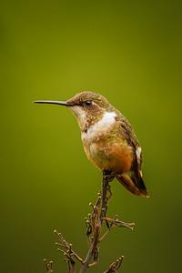 Scintillant Hummingbird  (Selasphorus scintilla)