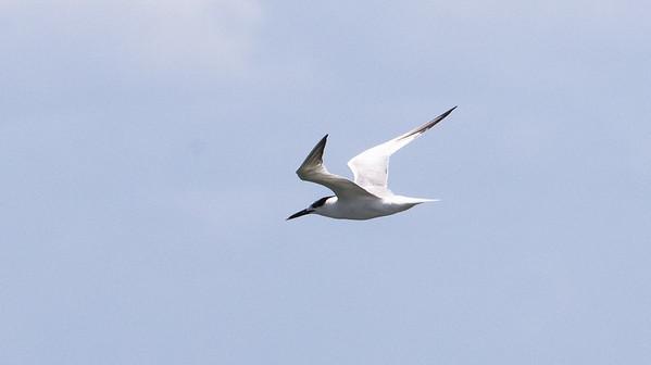 Cabot's Tern
