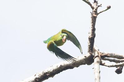 Orange-chinned Parakeet B