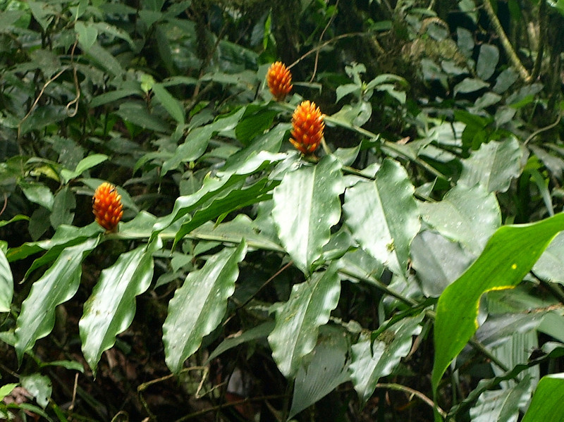 Some kind of wild ginger, I guess