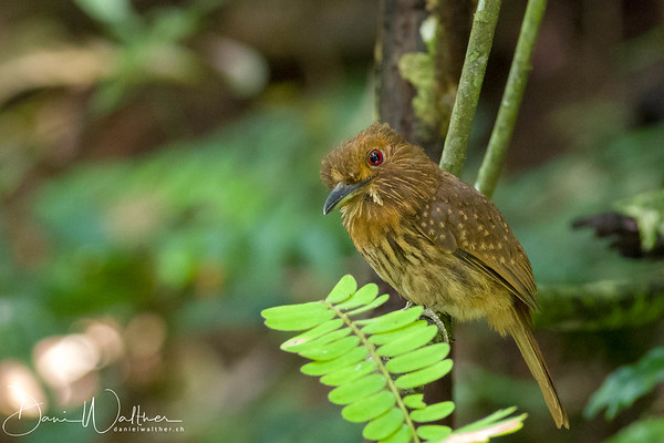 White-whiskered Puffbird (male)