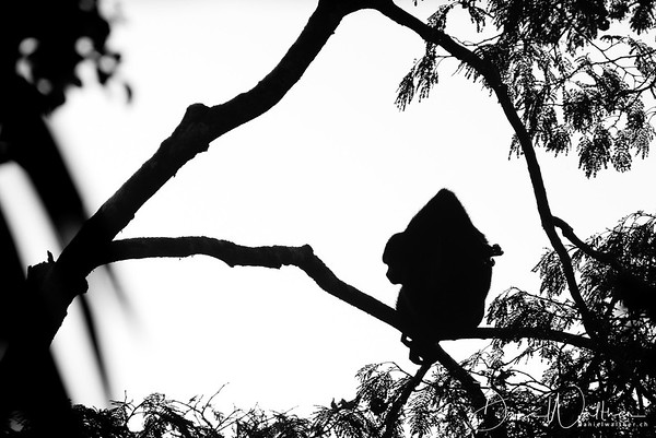 Howler Monkey at dusk