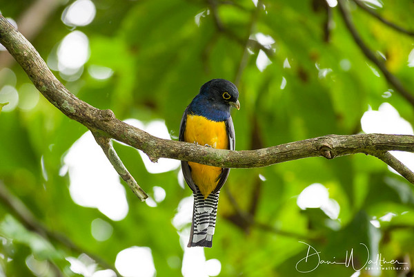 Gartered Trogon (male)