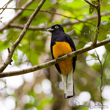 White-tailed Trogon (male)
