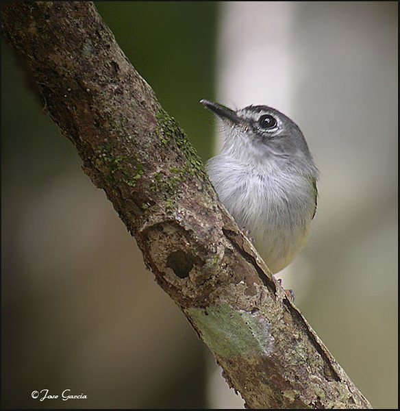 Black-capped-Pygmy-Tyrant