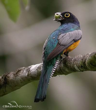 Gartered (Violaceous) Trogon (Male)