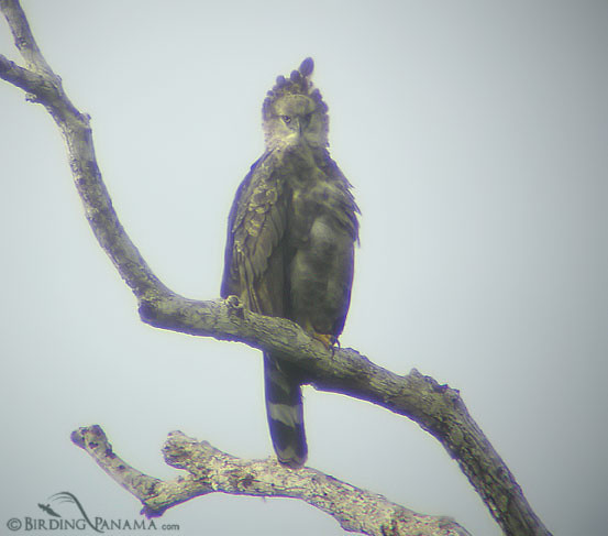 Crested Eagle, found at Nusagandi