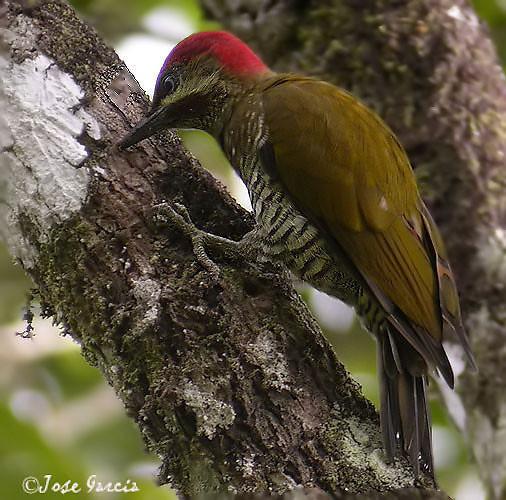 Stripe-cheeked Woodpecker