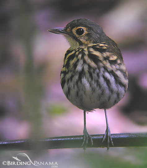 Streak-chested Antpitta, photo taken in Plantation Road