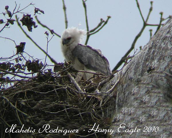 Harpy Eagle, Juvenile on nest