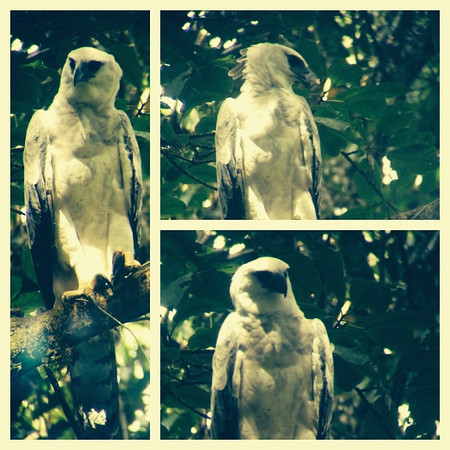 Wild Harpy Eagle, Darien. 2014