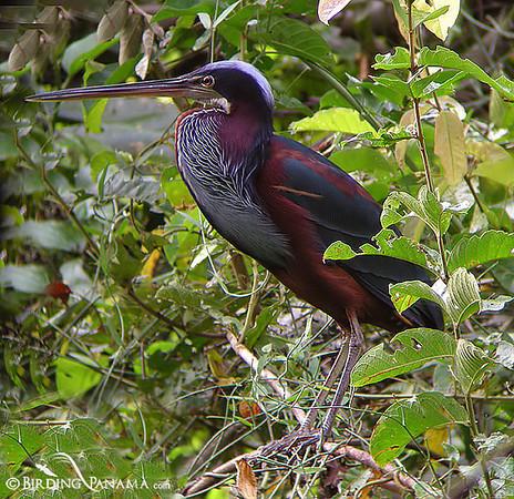 Panama-Birds
