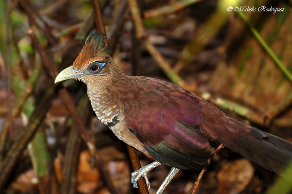 Rufous-vented Ground-Cuckoo - 2010