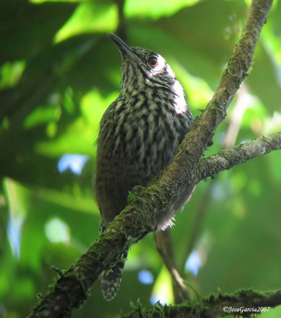 Stripe-breasted Wren