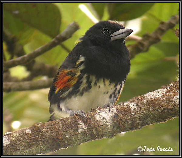 Spot-crowned Barbet, female