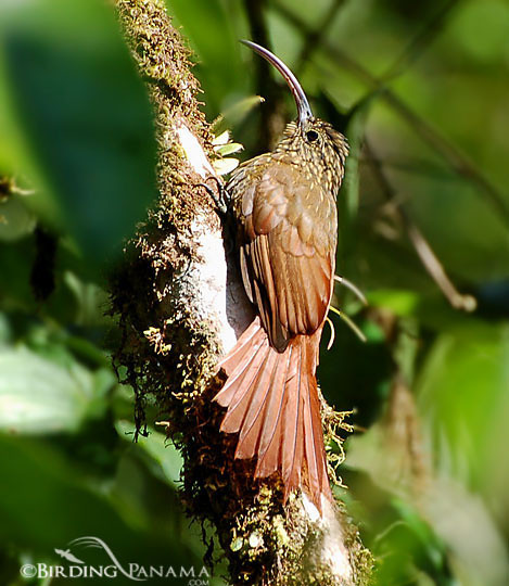 Brown-billed Scythebill