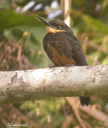 Dusky-backed Jacamar