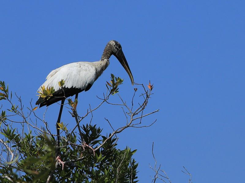 Shark Valley, Everglades National Park, Wood Stork