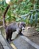 Coati - in the raccoon family.