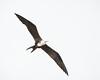 Panama Canal<br /> Magnificent Frigatebird