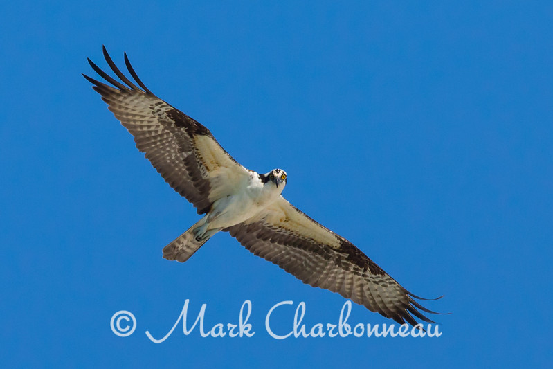 Osprey Eye