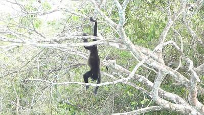 Howler Monkey video