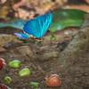 Flying Morpho Butterfly