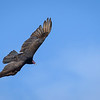 Flying Indian Vulture