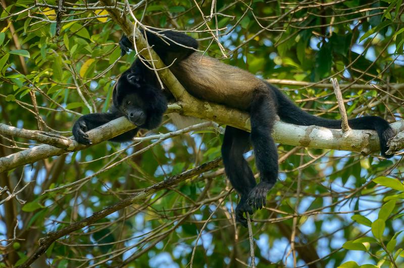 Howler Monkey on a Tree