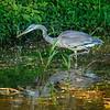 Hunt of a Blue Heron