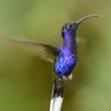 Dark Blue Hummingbird