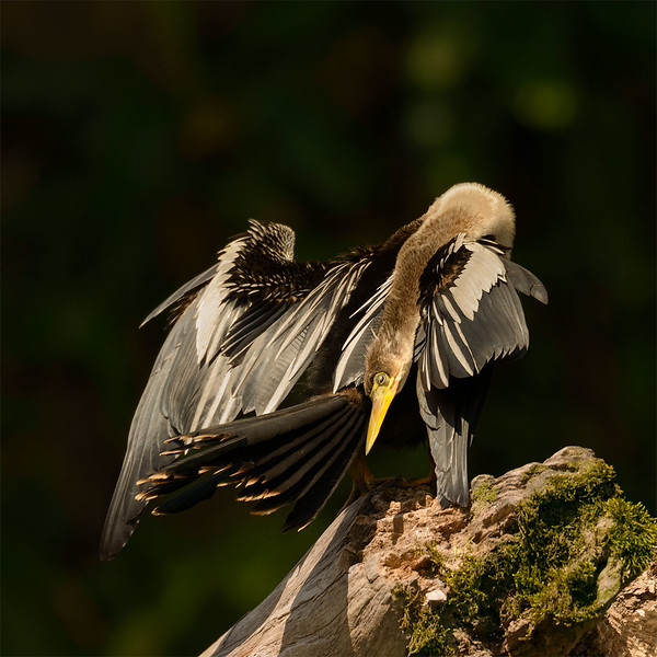 Carmorant
