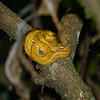 Coiled Yellow Viper