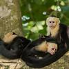 Resting Capuchin Monkey