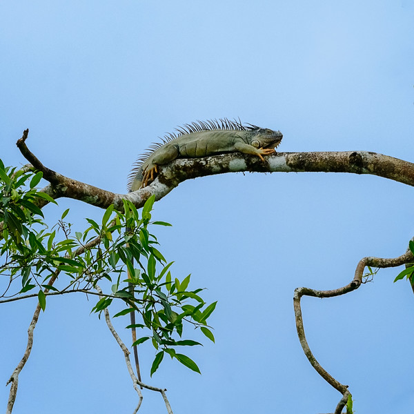 Green Iguana in the Morning